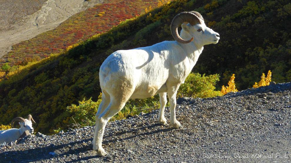 Autumn Dall Sheep in Denali National Park