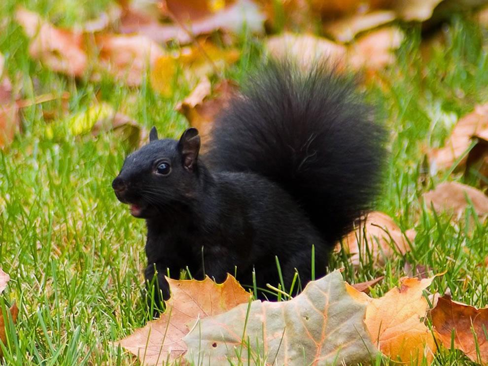 Black Squirrel in Autumn Leafs
