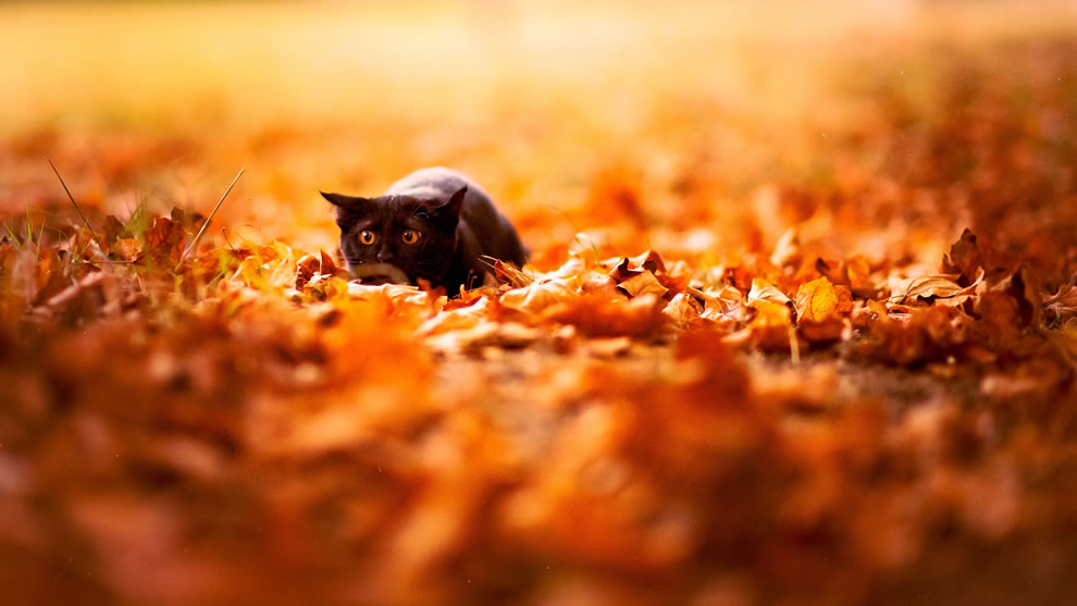 Black cat about to pounce in autumn leaves