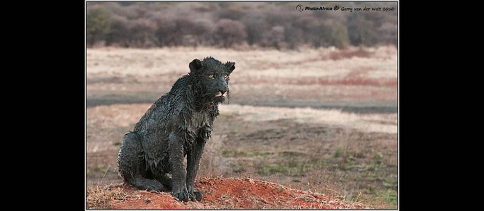 Black lion -- Photo Africa black lion mud lion