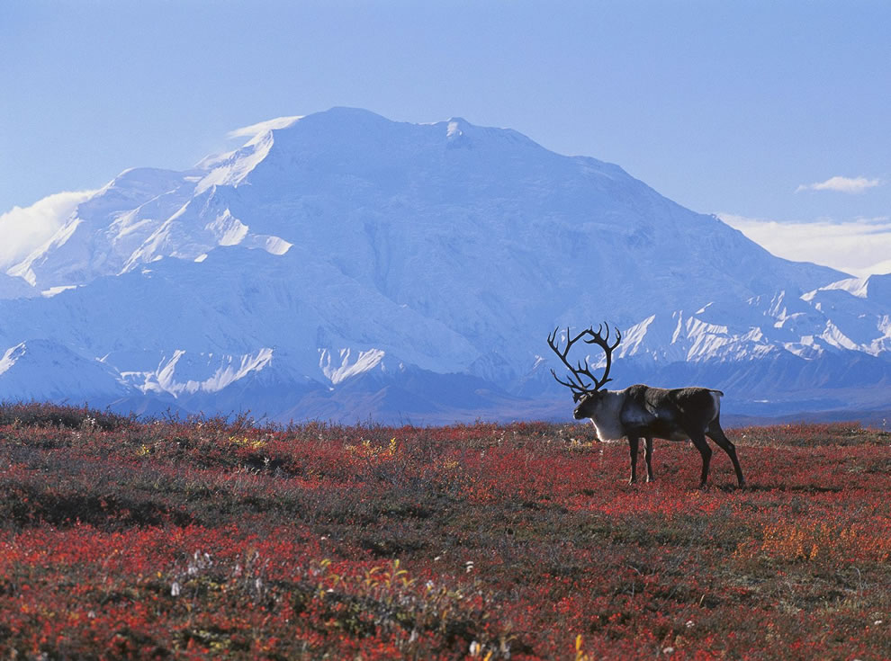 Caribou in autumn tundra with beautiful snowy mountains in background, Denali National Park, Alaska