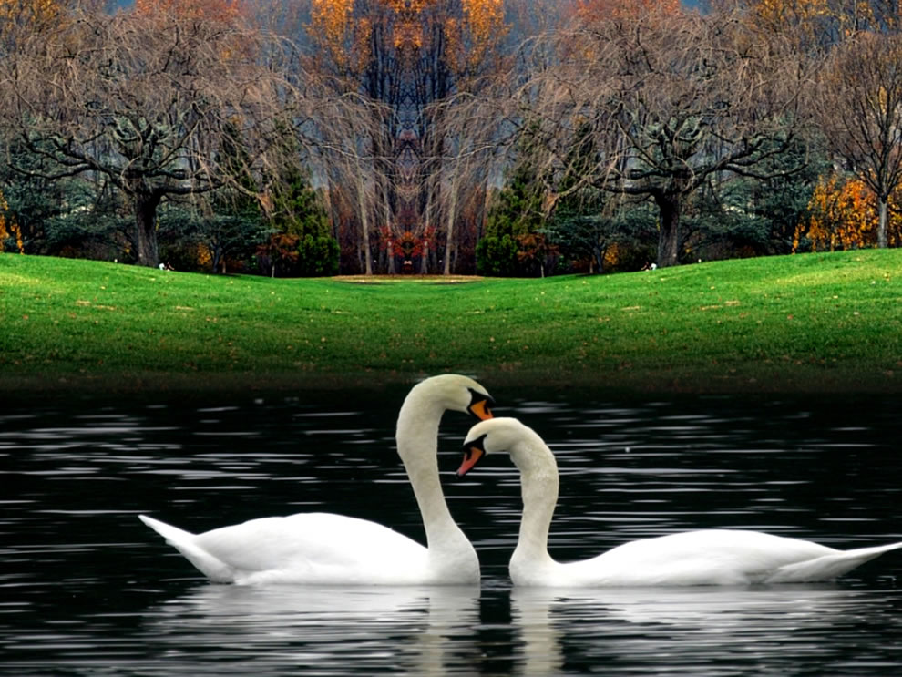 Fall swans in lake at autumn
