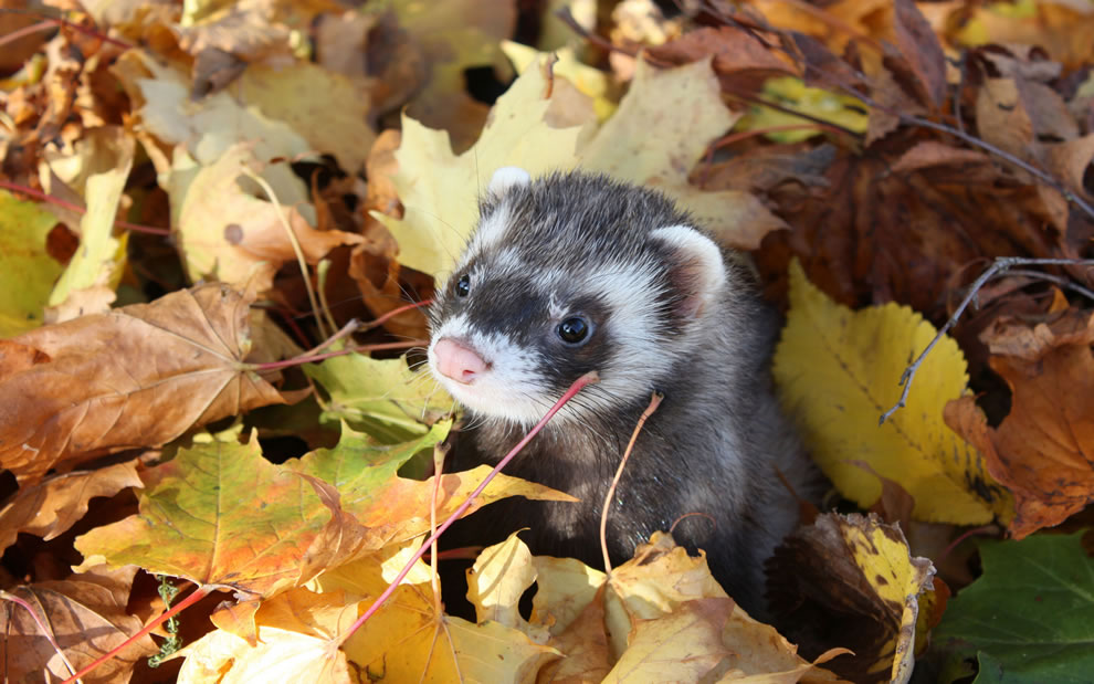 Ferret in the frolicking in the fall foliage