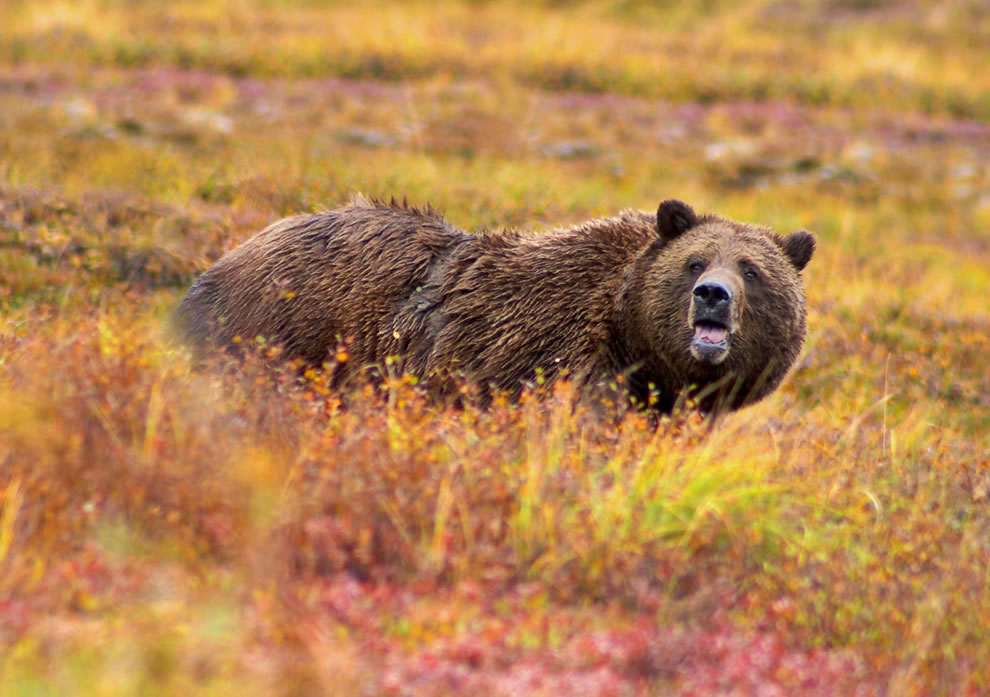 Grizzly Bear in autumn in Denali National Park and Preserve