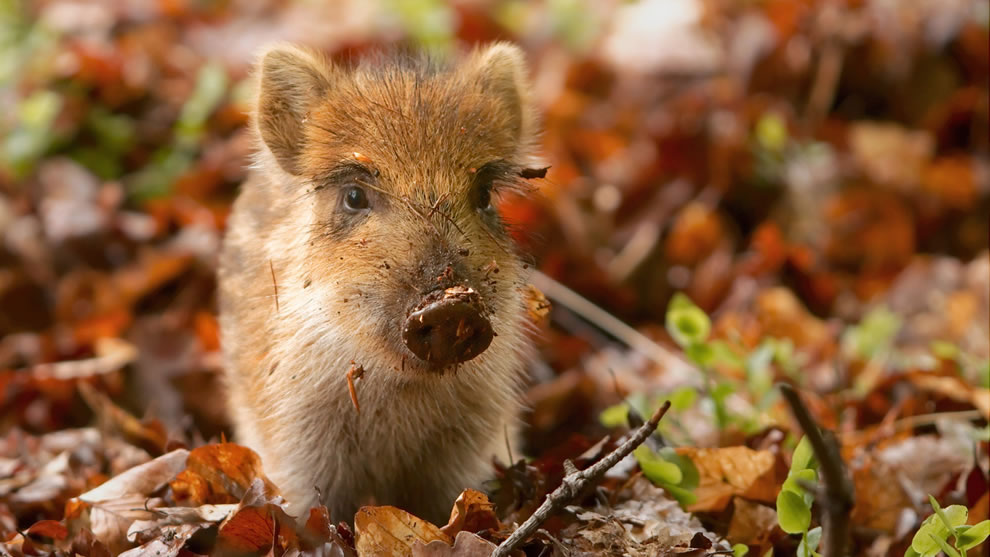 Messy baby boar playing in the autumn forest