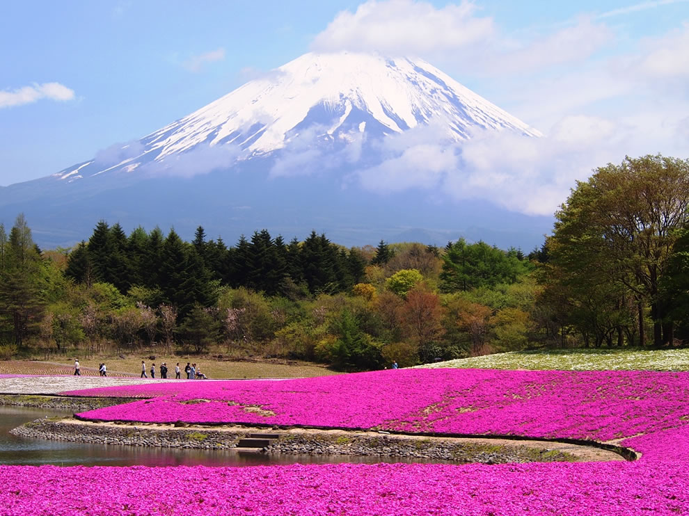 Mt. Fuji, the Shibazakura Flower Festival