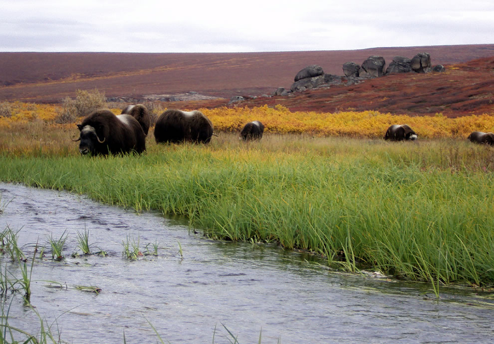 Muskoxen and Strokes of Autumn's Colors At Serpentine Hot Springs, Alaska