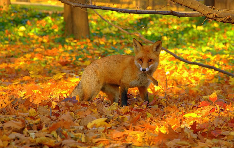 Red fox caught mouse in bright foliage of fall forest