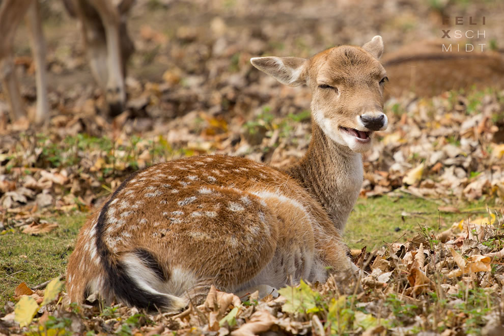Autumn Laughing deer doe during fall at Saxony-Anhalt, Germany