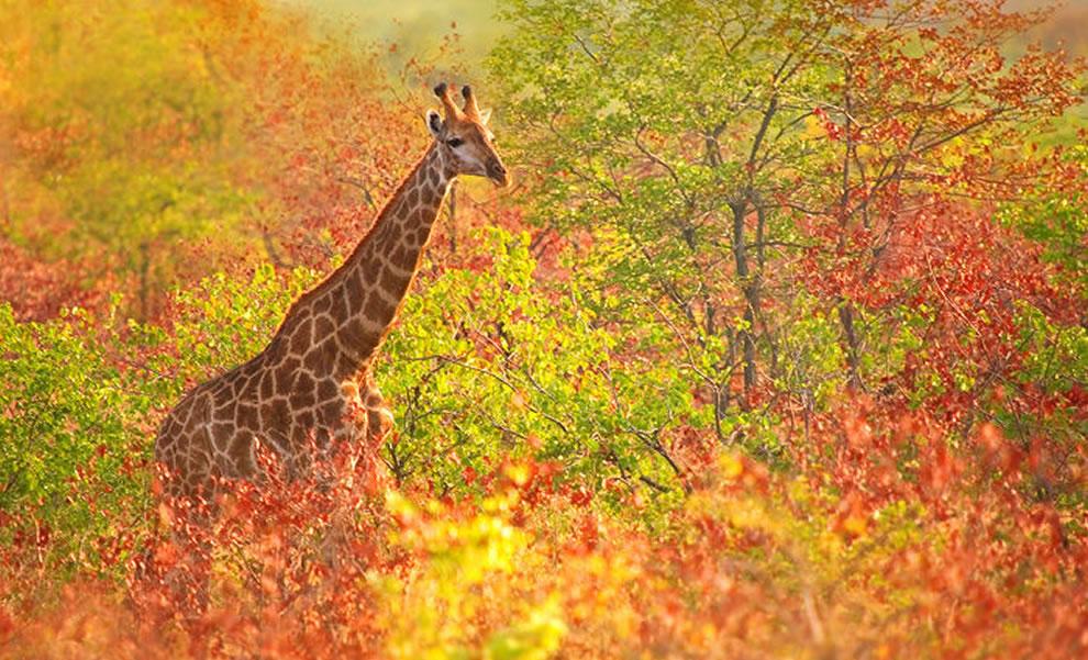 giraffe cruising through the fall foliage