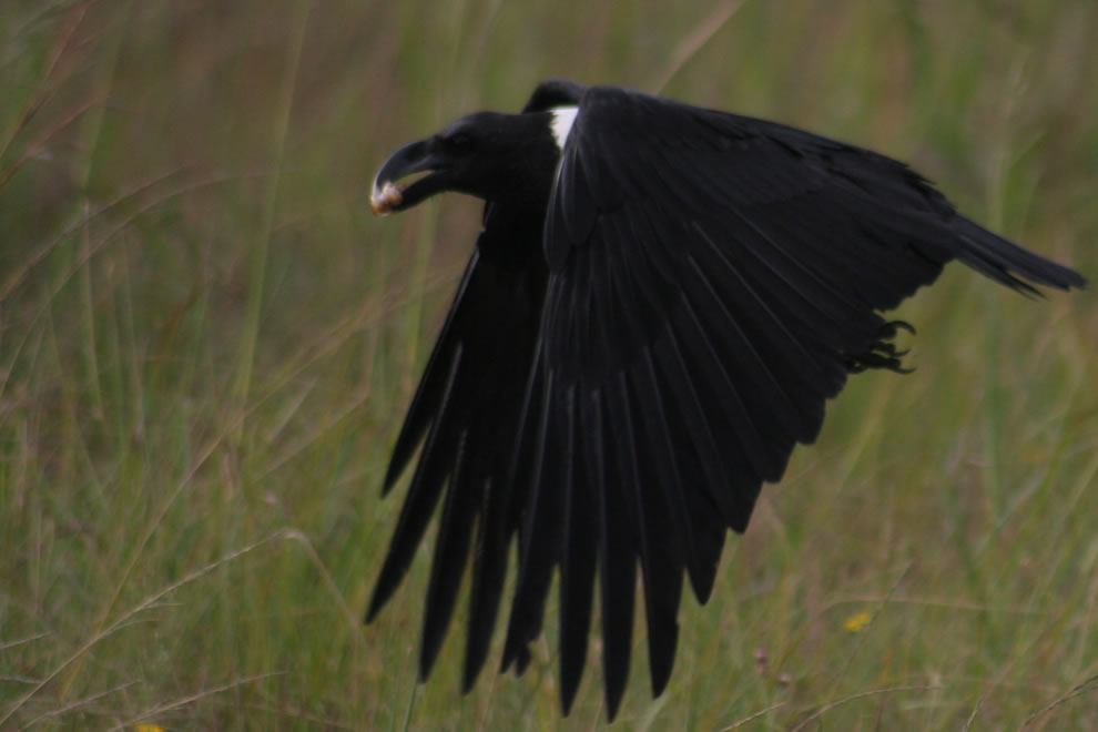 A White-necked Raven (Corvus albicollis) in Durban, South Africa