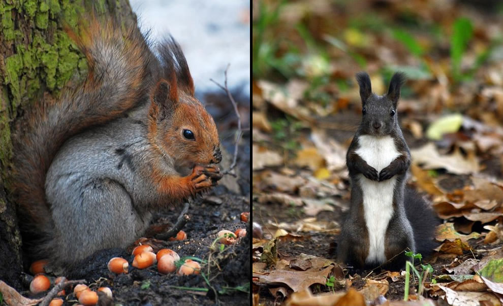 A squirrel's work is never done in the fall season