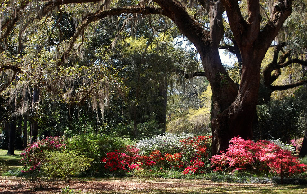 Azaleas, Live Oaks and Spanish Moss at Eden Garden State Park, Northwest Florida