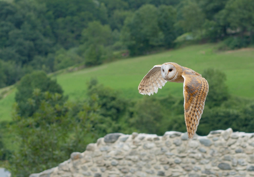 World Animal Day Animal ABCs - Barn owl in flight