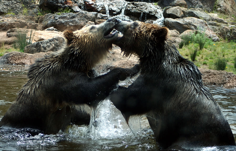 Bears playing fighting, grizzly bears - animal ABCs animals that start with the letter B, World Animal Day