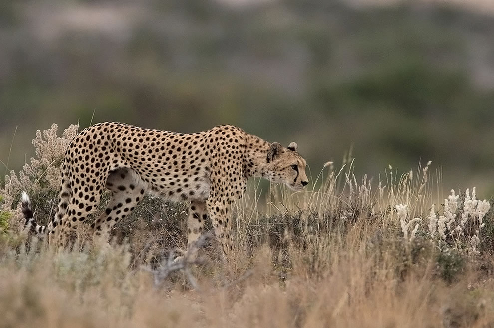 Animal ABCs - Cheetah hunting in Amboseli National Park, Kenya World Animal Day