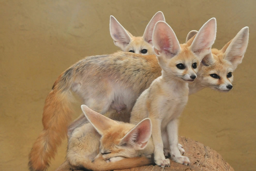 Fennec Fox, a whole family of Fennec foxes, animal ABCs