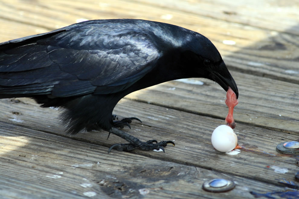 Fish crow and egg