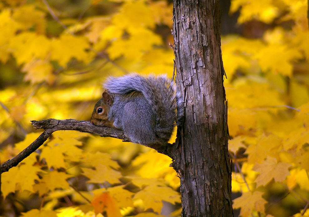 Gray squirrel against yellow leaves of fall
