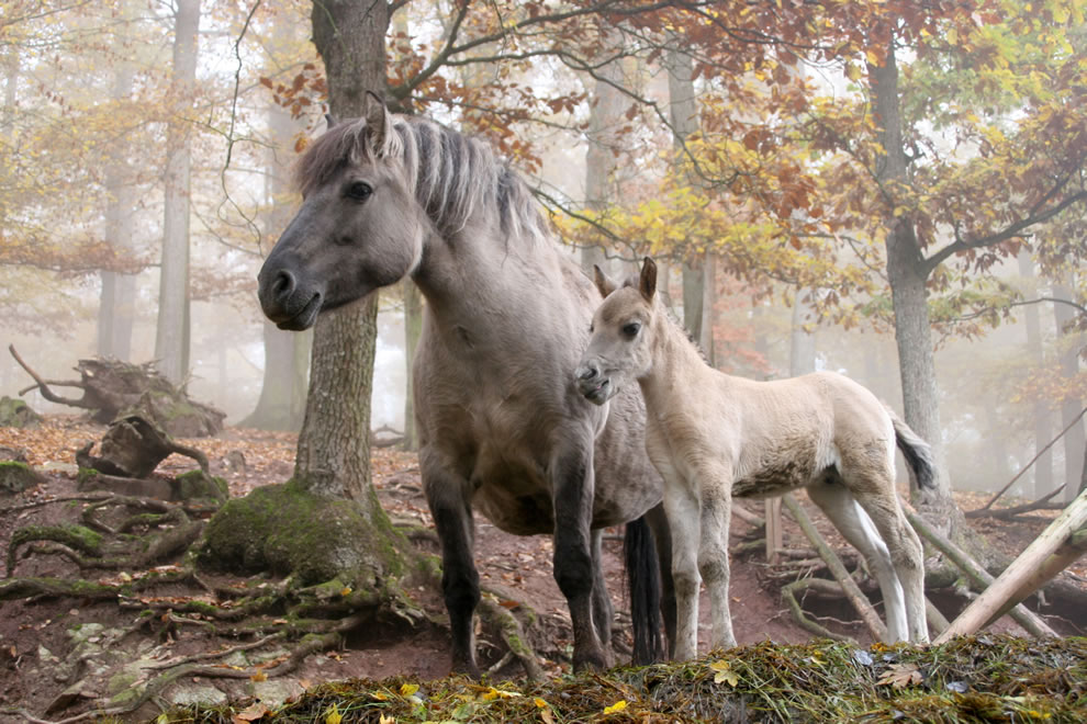 H is for horses. These wild horses are located in the Erlebnispark Tripsdrill wildlife and theme park near Cleebronn in Southern Germany