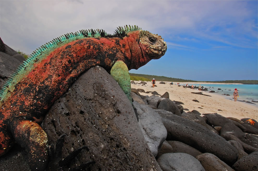 I is for Iguana, a Marine Iguana, Espanola Island, Galapagos, animal ABCs