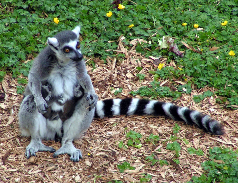 L is lemur. This ring-tailed lemur is holding her twins born the night before