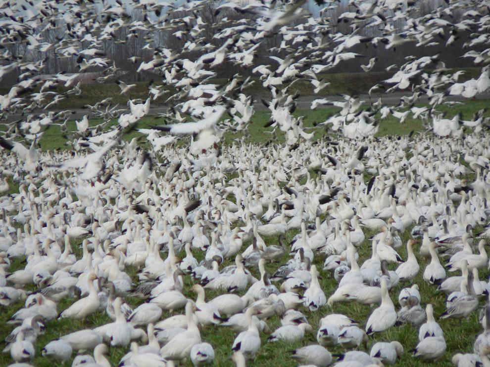 Lesser Snow Goose