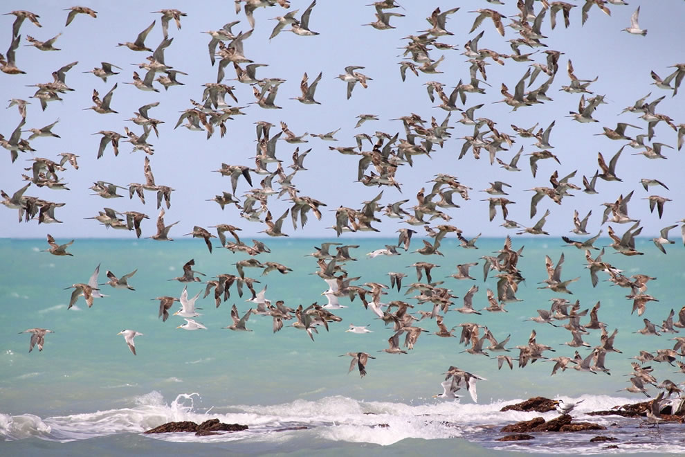 Limosa lapponica and Thalasseus bergii, flying in to a high tide roost in Roebuck Bay in Western Australia