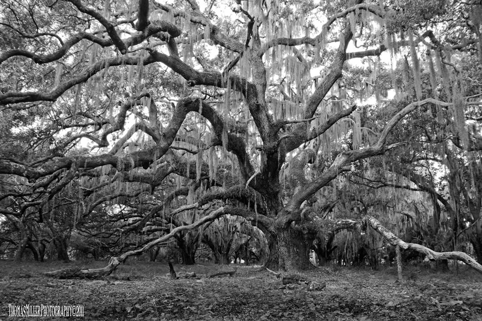 Live oak tree nature decorated with Spanish moss