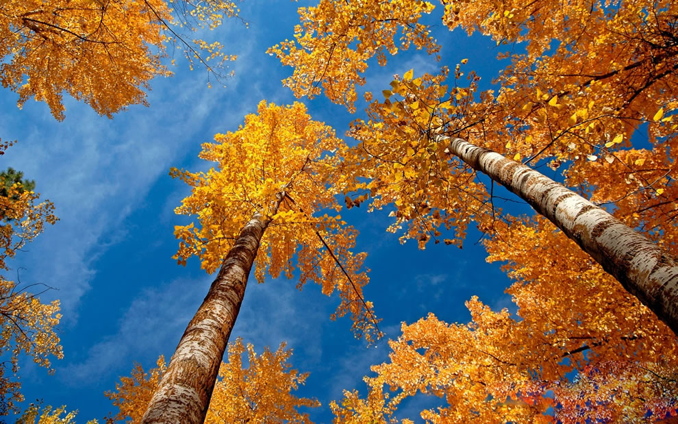 Looking up at golden & orange leaves of autumn