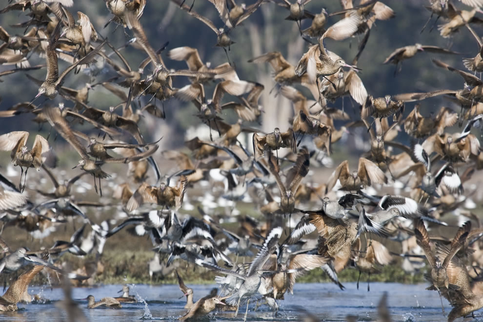 Marbled Godwits(Limosa fedoa) and Willets (Tringa semipalmata) (formerly Catoptrophorus semipalmatus) in a flock flying, seen during a kayak outing in Morro Bay, CA Morro Bay Estuary