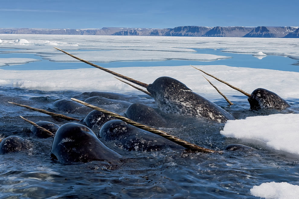 N is for Narwhal, narwhal males are distinguished by a long, straight, helical tusk, actually an elongated upper left canine