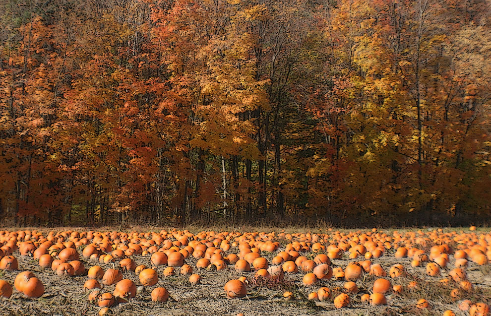 Pumpkin Field at Niagara Escarpment in Ontario