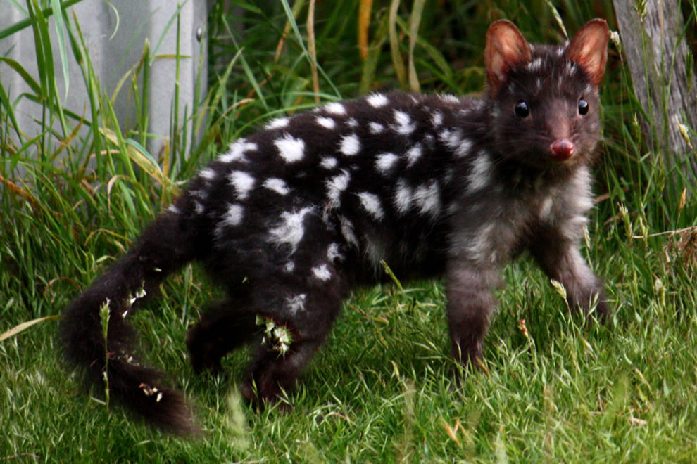 Q is for Quoll. This is a black morph of the Eastern Quoll