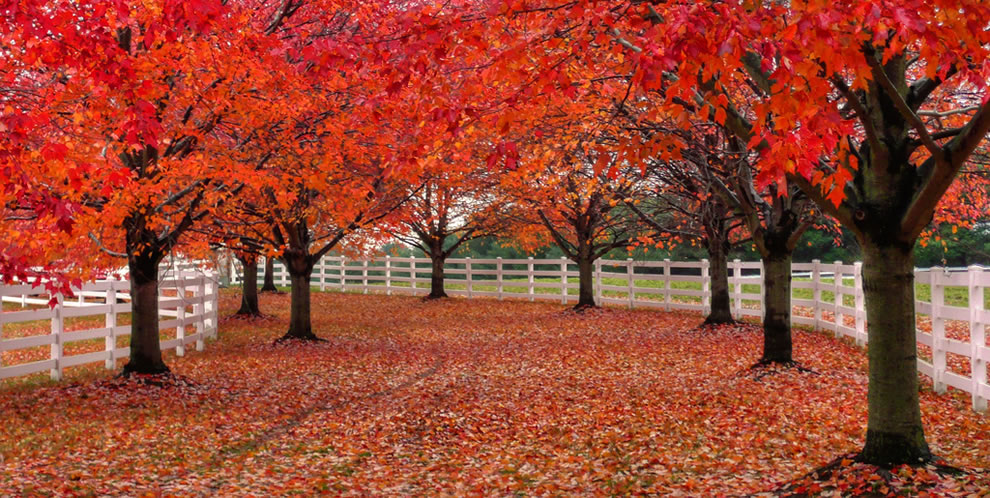 Red trees lined by a little white picket fence in Colts Neck, NJ