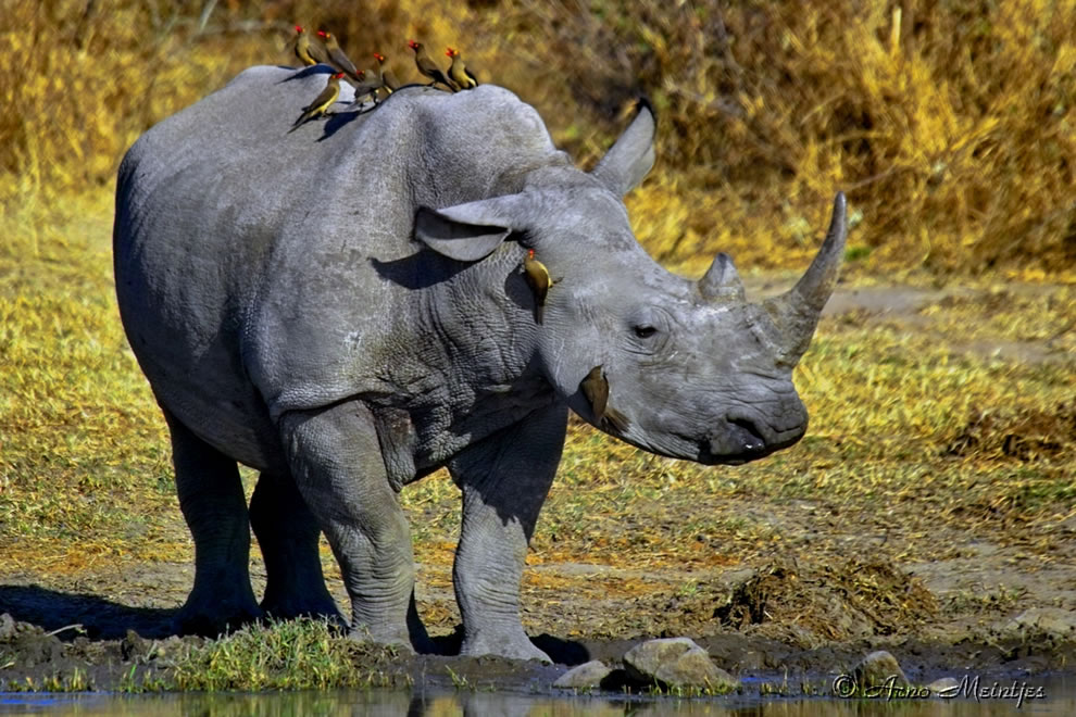 Rhinoceros with oxpecker birds along for the ride, animal ABCs, world animal day