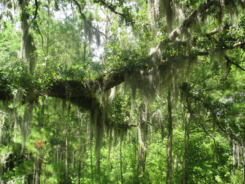 Spanish moss in Pender County, North Carolina