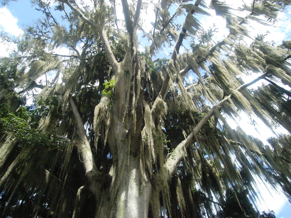 Spanish moss on tree at a national park in San Gil, Colombia