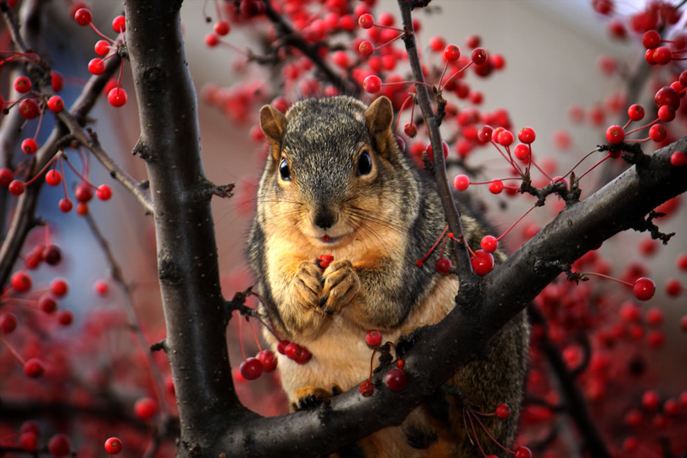 Squirrel feasting on red berries