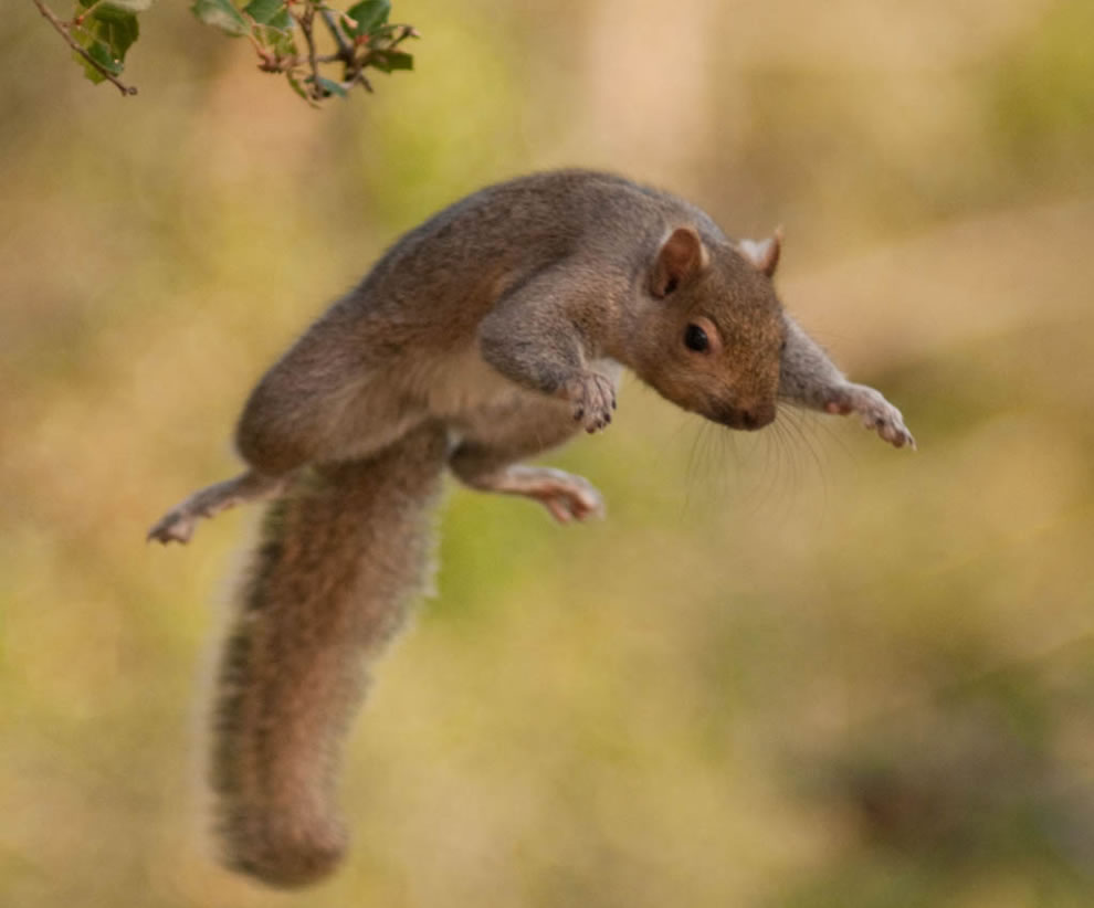 Squirrel leaping from a broken branch