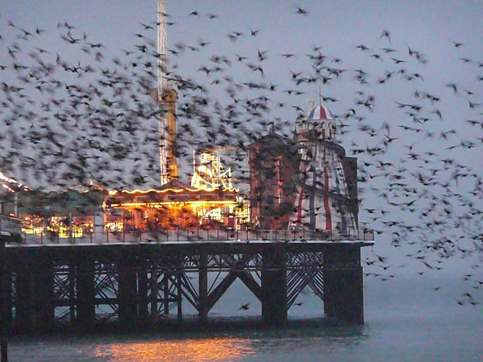 Starlings flocking around Brighton Pier
