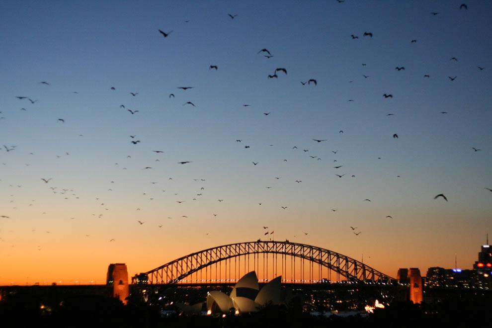 Sydney - Bats at dusk