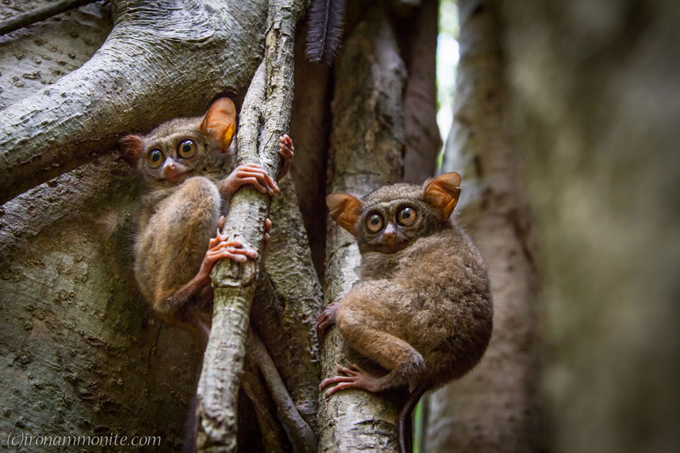 T is for Tarsier, the world's smallest primate