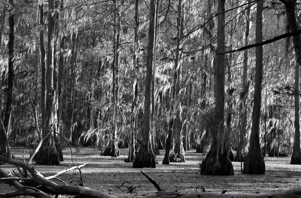 The Moss Hung From Trees at Merchant's Millpond State Park, North Carolina