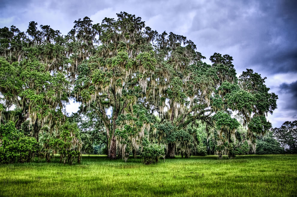 Trees with Spanish Moss at Hofwyl-Broadfield Plantation, GA