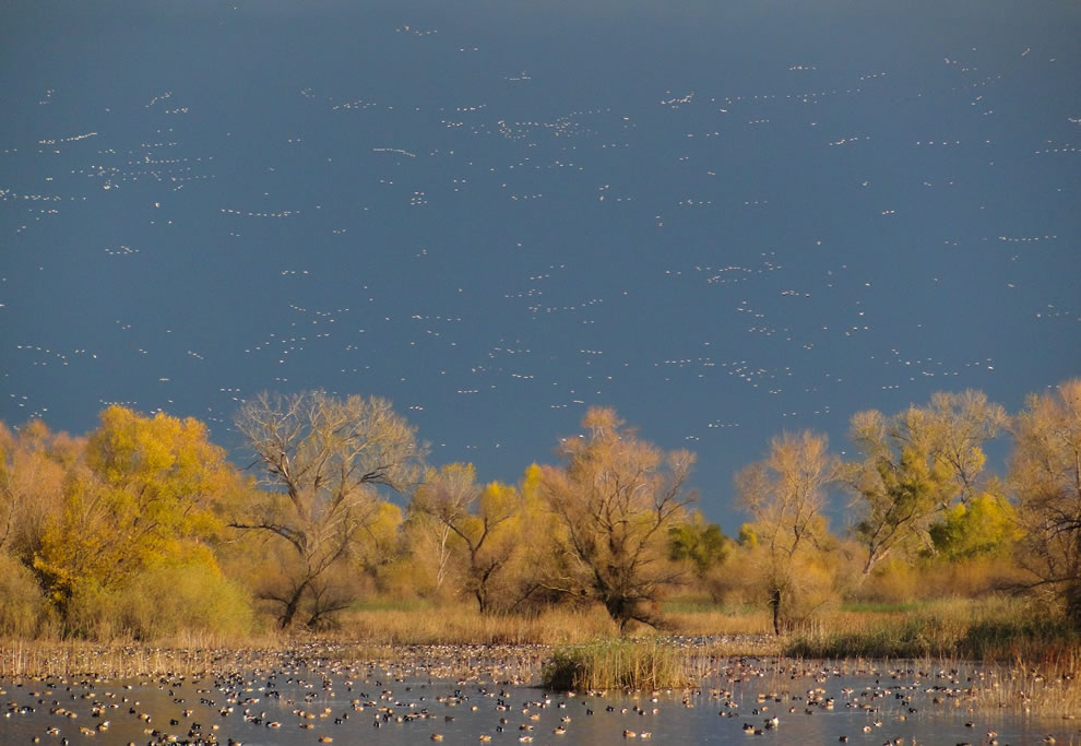 Waterfowl at Gray Lodge Wildlife Area, Sacramento Valley, California, USA