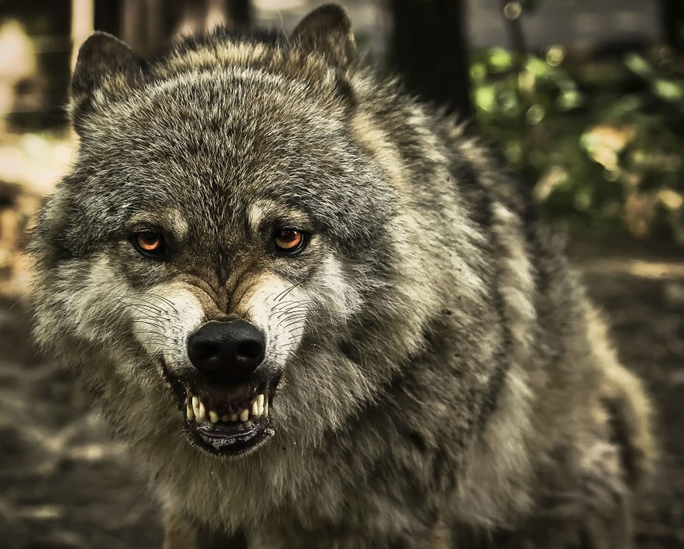 Wolf, a big, bad, beautiful, snarling wolf