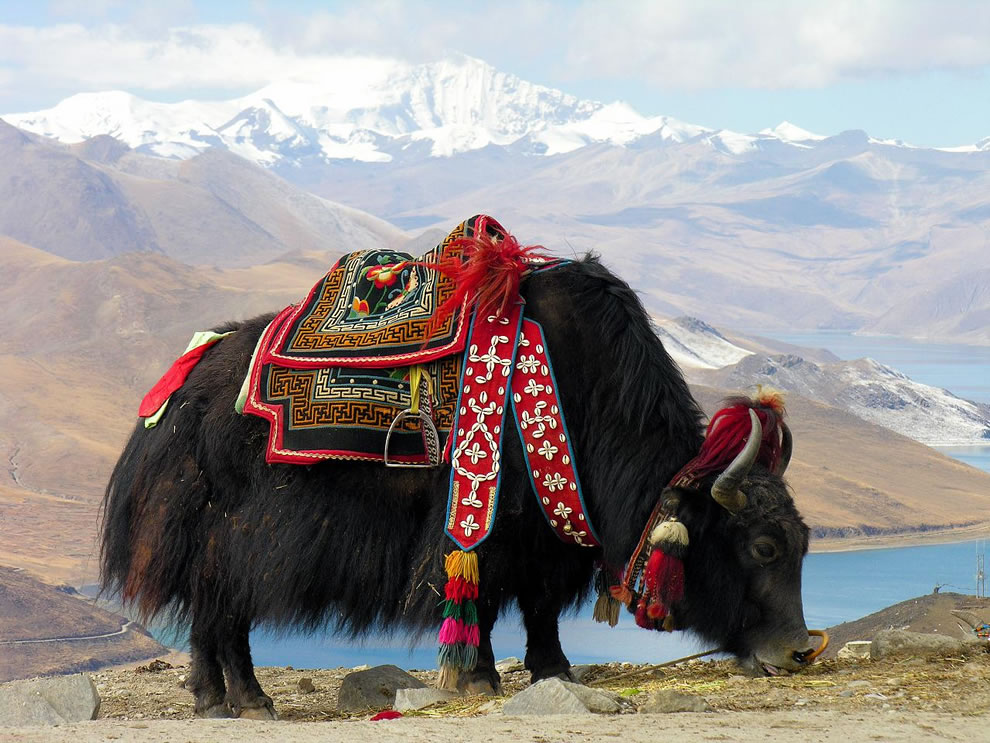 Y is for Yak, as in this Yak near the sacred Yundrok Yumtso Lake, Tibet