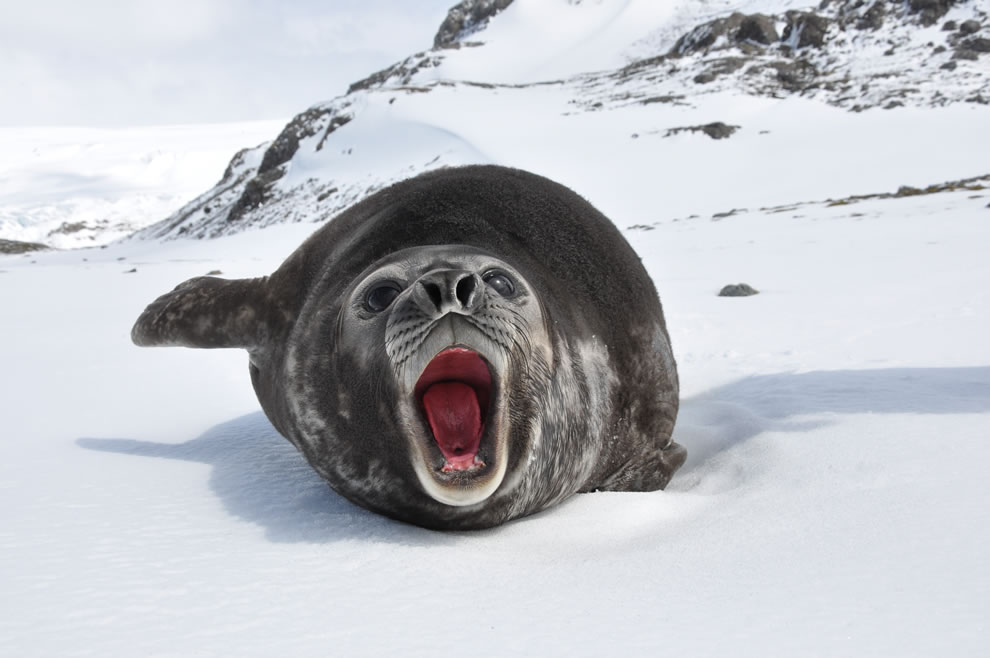 Young and silly Southern Elephant Seal on the island of South Georgia Animal ABCs World Animal Day -