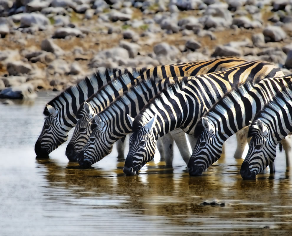 Z is for Zebras at a watering hole at Etosha National Park in Namibia